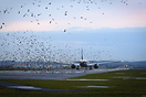 Departing Boeing 777 waking up a flock of birds